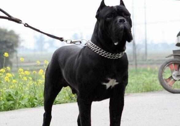 出售纯种卡斯罗幼犬公母均有图片
