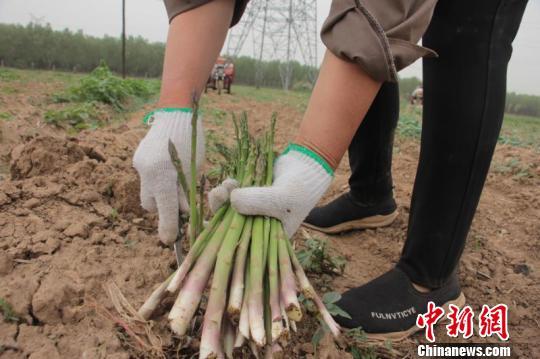 图为村民正在采收芦笋。 长子县新闻中心王维宁供图摄