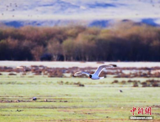 鸟类在湖边栖息、觅食。王超 摄