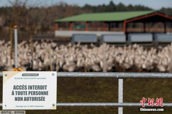 """当地时间2017年1月7日,法国西南部布尔里奥贝尔贡克,当地农场的家禽。法国西南部近期遭遇新一波H5N8禽流感的袭击,政府决定从5日起对出现H5N8禽流感的西南地区养殖的上百万只鸭施行""""安乐死""""。根据法国官方公报颁布的政令,在西南地区四省150个市镇实施大规模预防性宰鸭行动。"""