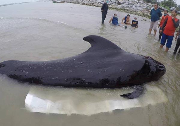 泰国南部海岸发现死鲸 胃里塞了80多个塑料袋