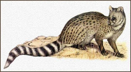 小灵猫 也许听到这个名字你会以为它们就是大灵猫的后代,但其实小灵猫是一个单独的物种,。它们与平常的家猫有点相像,只是小灵猫的身形更加细长一些。跟大灵猫不同的是小灵猫整体毛发呈淡淡的黄褐色,身体两边布满纵列黑褐色斑点。最醒目的是尾巴上深浅不一的环纹。小灵猫的警惕性特别高,会很容易受到惊吓,其数量也在逐渐减少。