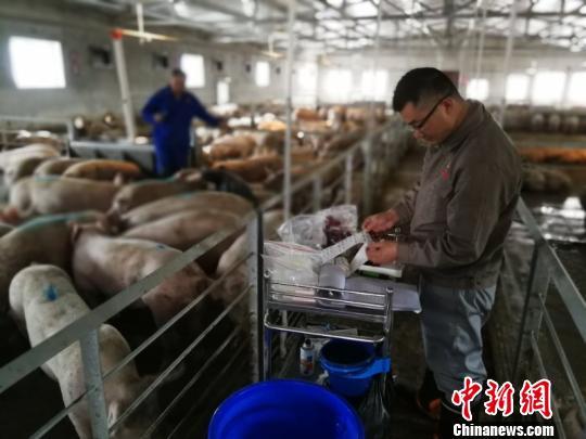 四川直接从美国引进的种猪。 钟欣 摄