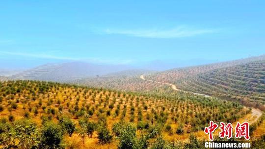 油茶林。 长宁市委宣传部供图 摄