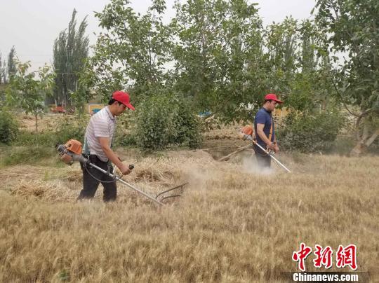 新疆和田120多万亩冬小麦陆续收割