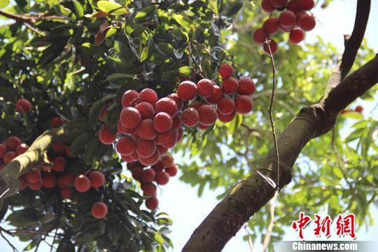 图为挂在枝头的荔枝果 钟欣 摄