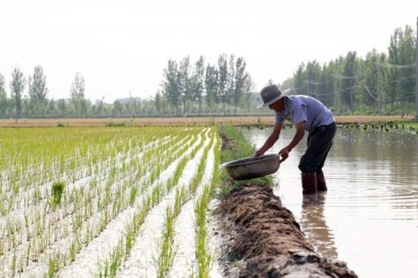 年逾八旬不服老,滨州老农种稻十亩,曾是当地水稻种植技术员