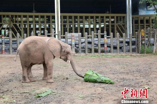 图为非洲象吃水果蔬菜粽子。 韩璐 摄