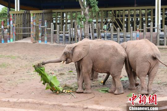 第一次享用这么豪华的大粽子,非洲象刚开始走到大粽子边的时候还有些不知所措。图为非洲象吃粽子。 韩璐 摄