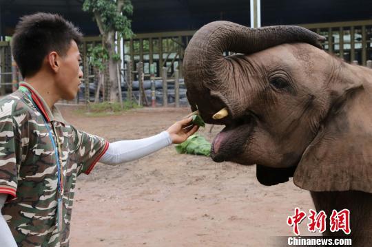图为饲养员给非洲象喂由粽叶包裹玉米粒做成的小粽子。 韩璐 摄