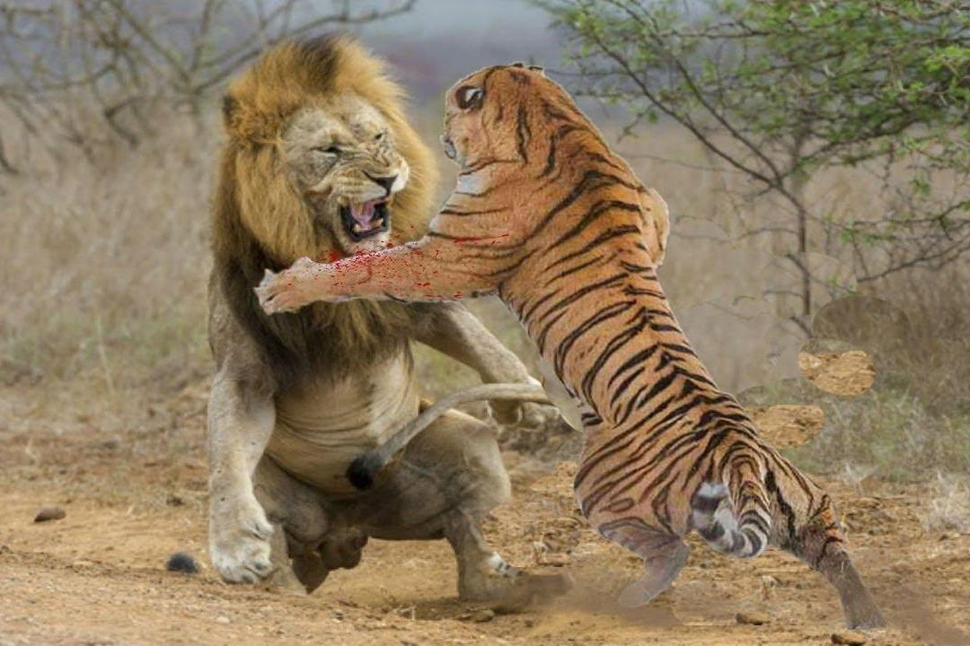 Совсем недавно ученые проанализировали факты, и ответили на известный детский вопрос, кто сильнее тигр или лев?