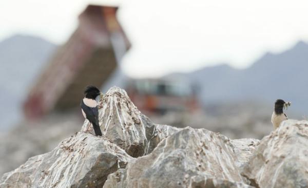 伊犁施工高速路现大量粉红椋鸟育雏,为保幼鸟紧急停工一个月