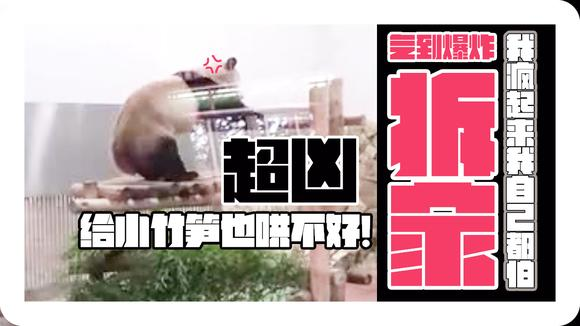 日本动物园的熊猫突然发飙 这拆家能力不输哈士奇!气到爆炸!