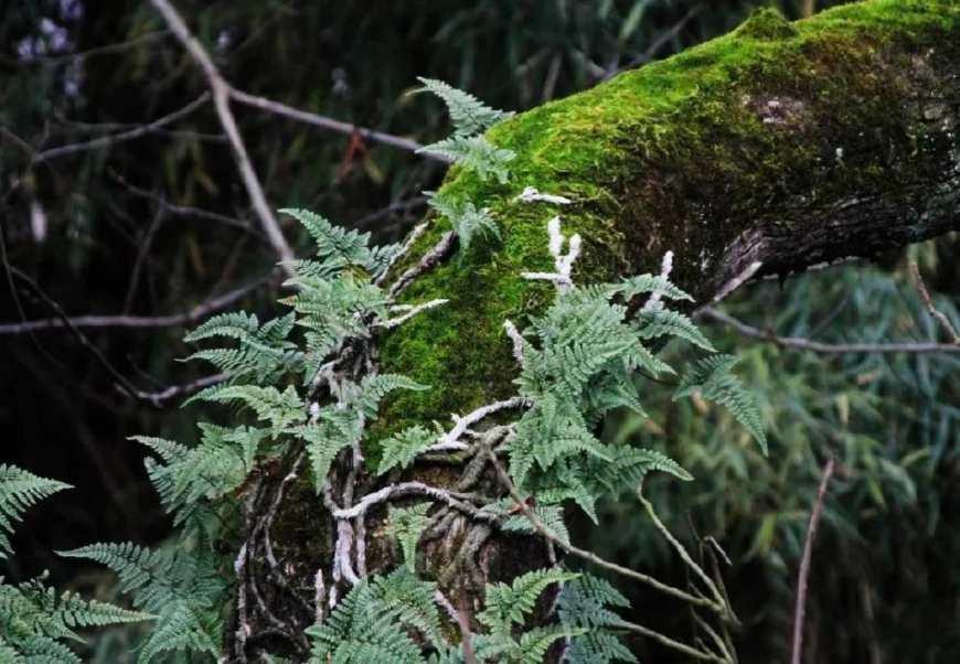 农村一种长在树上的草,名字很奇怪,是治感冒发热的良药