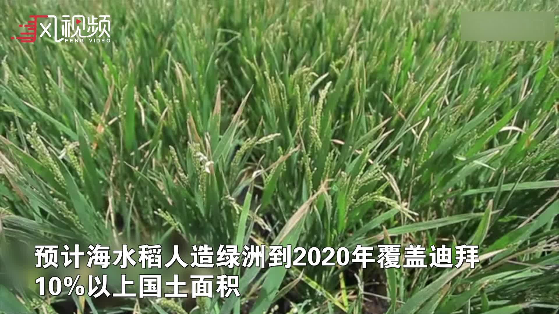 """袁隆平迪拜成功试种""""沙漠海水稻"""" 将成为阿联酋国礼"""