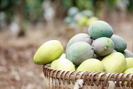 最好吃的芒果品种:攀枝花芒果