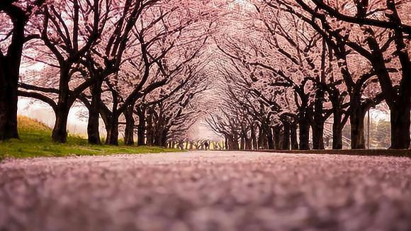 去日本看樱花,哪些绝美赏樱地一定要去?