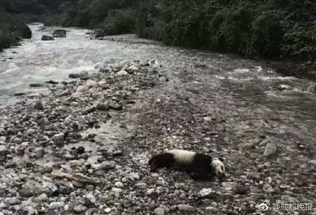 大熊猫溺亡!网友质疑为何不保护?专家的回答意料之外情理之中