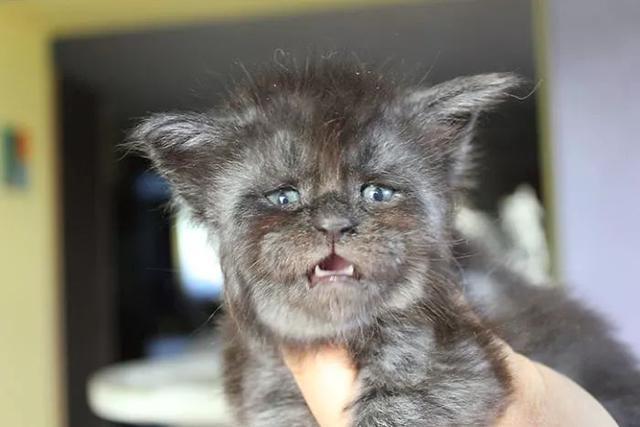 一只长得非常像人的猫火了,许多网友称看到它