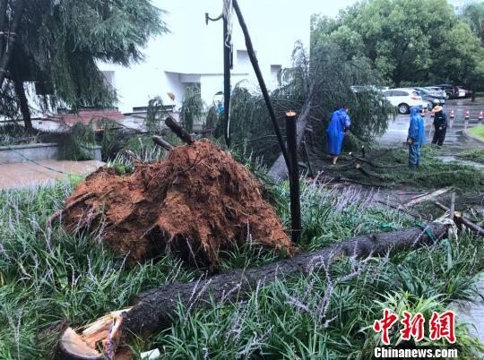 温州瑞安,因台风吹倒的树木。 张斌摄