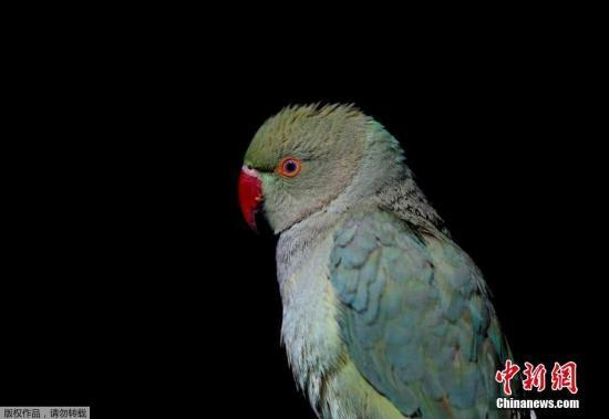 资料图:一只鹦鹉。