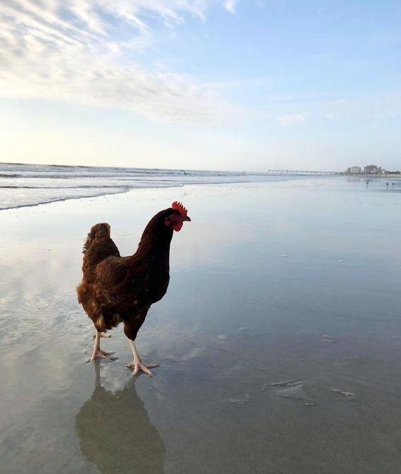 美国大叔养了一只鸡当宠物,看了他们的日常竟