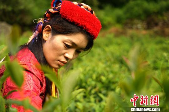 图为门巴族姑娘在采茶。 江飞波 摄