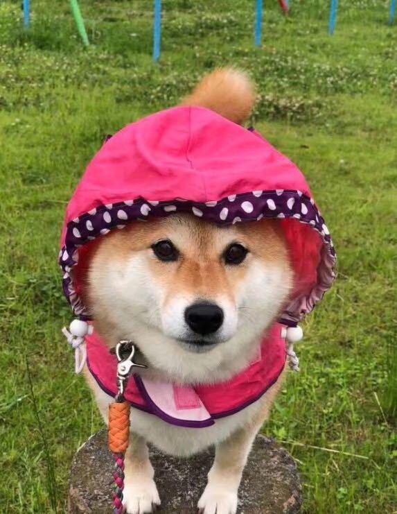 怕柴犬淋雨给它穿雨衣却遭白眼:雨衣遮挡了我的帅气