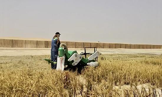 袁隆平团队迪拜沙漠种海水稻成功 将推广中东北非图片 35235 550x330
