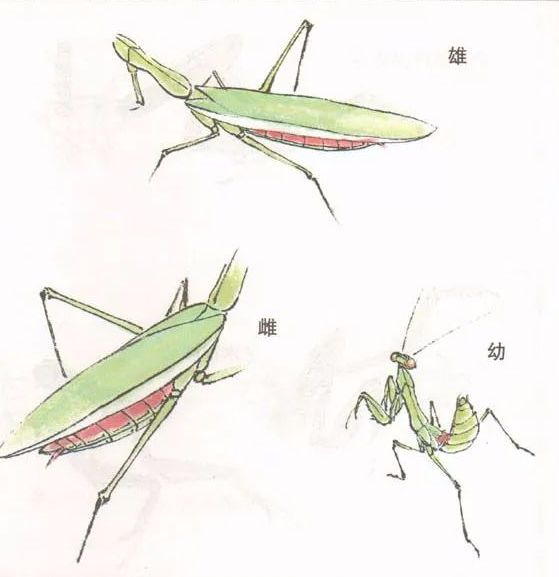 国画技法 | 螳螂的工笔及写意画法