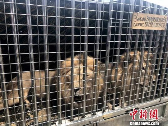 南航运送13头非洲雄狮从广州返回莫斯科 王富宏 摄