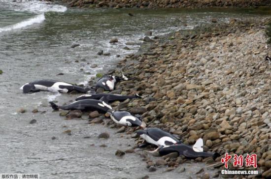 当地时间2月14日,新西兰南岛海滩,数头虎鲸集体搁浅死亡。