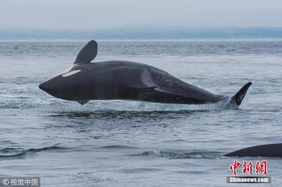 """近日,美国华盛顿州,一头身形庞大的虎鲸正优雅地跃出水面。这头虎鲸身长24英尺(约合7.3米),重达6吨,身手矫健,看起来可以在水面上毫不费力地滑行。野生动物旅行社经营者Ken Rea在西雅图附近的圣胡安岛拍摄了这组令人惊叹的照片,他称这为虎鲸的""""快乐舞蹈""""。 图片来源:视觉中国"""
