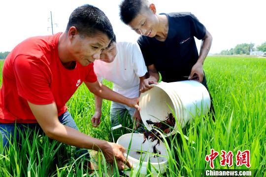 """江西鄱阳""""稻虾共作""""助农民增收"""