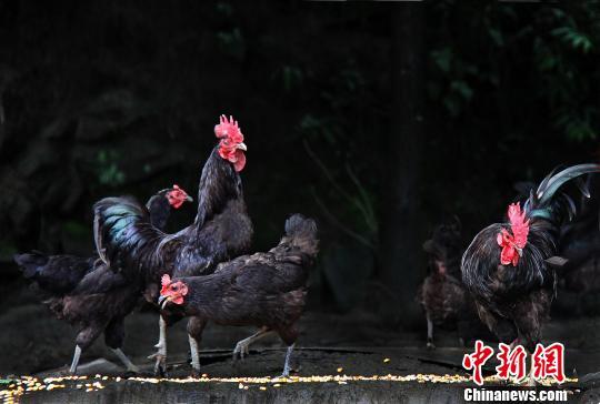 黟县柯村黑鸡保种场里的黑鸡 韩丹妮 摄