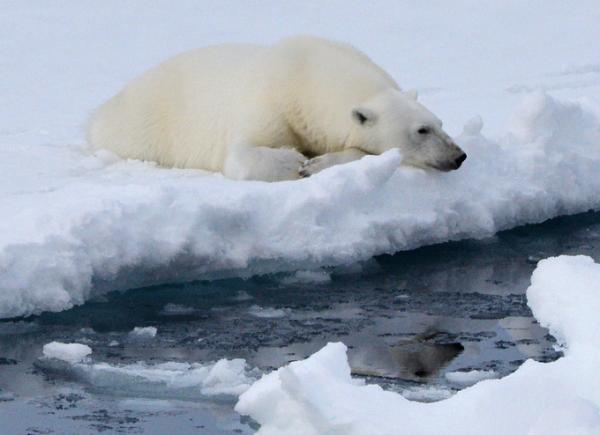 """32℃不等于""""北极变热"""",但北极熊确实处境艰难"""
