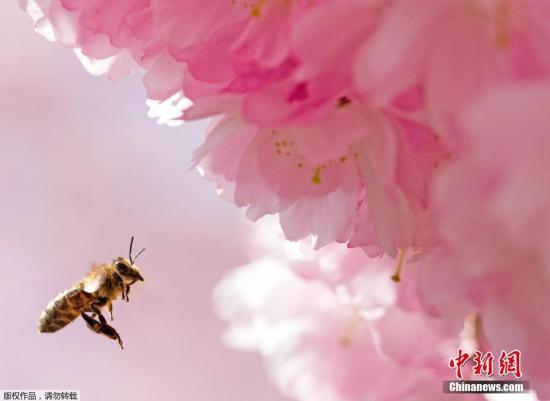 资料图:蜜蜂在盛开的花丛中飞舞。