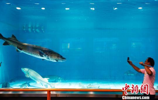 """记者在上海长江口""""中华鲟之家""""参观。 汤彦俊 摄"""