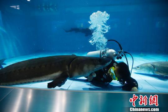 饲养员在给中华鲟喂食。 汤彦俊 摄