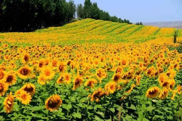 壁纸 成片种植 风景 花 植物 种植基地 桌面 600_400