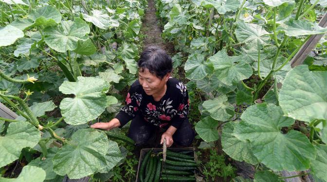 弃北京年薪十万,河南村民返乡种菜成功致富3.jpg