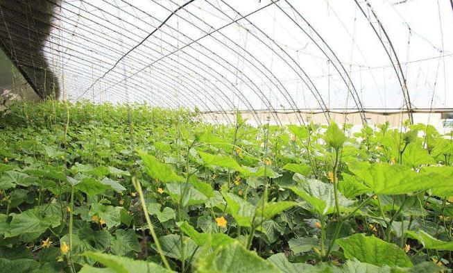 弃北京年薪十万,河南村民返乡种菜成功致富2.jpg