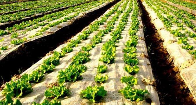 弃北京年薪十万,河南村民返乡种菜成功致富1.jpg