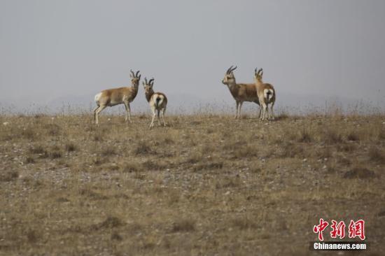 青海湖畔极度濒危物种普氏原羚数量创历年新高