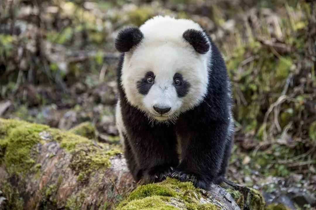 保护大熊猫的卧龙国家级自然保护区