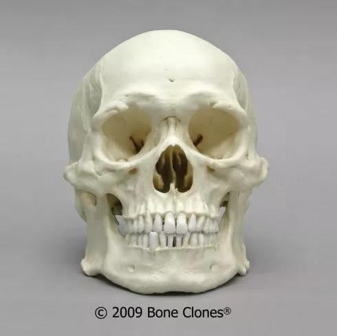 提过每个人的骨骼形状是不一样的,下面这张是亚洲男性的头骨标本,看