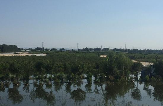 弥河边被淹的黄桃果园,最深时水没过了树梢。李攻/摄