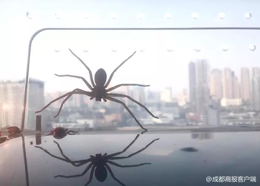"""在家养这种""""大长腿""""蜘蛛能灭蟑螂?网友:我选小强"""