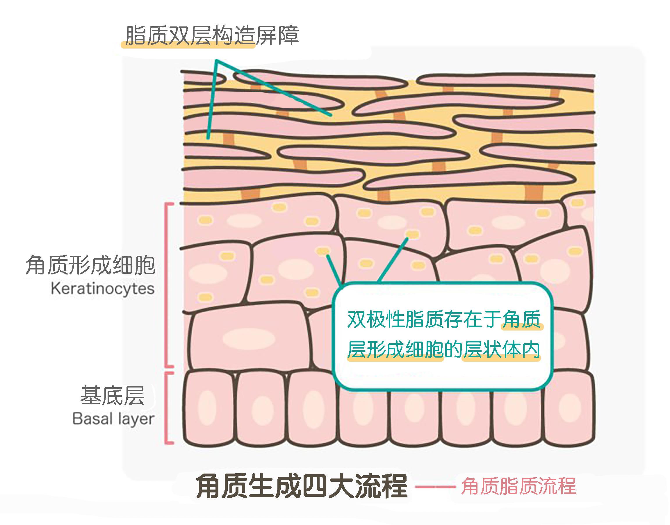 肚子结构解剖图