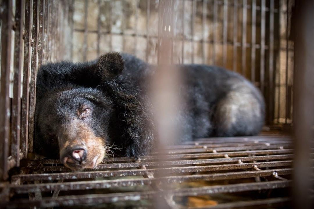 越南熊胆汁价格暴跌,养殖熊惨遭杀害,未来或出现在餐桌上